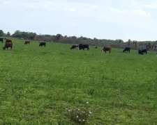 Compro Vacas, Toros y Novillos.