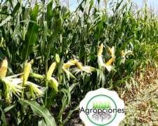 Semilla de Maiz DUO 30 PW - Semillero Forratec