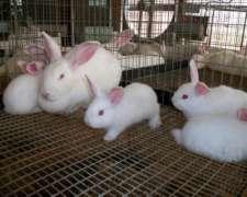 Conejos Neozelandeses Hermosos Gazapos De 40 Dias