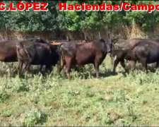 Vacas Preñadas Angus MAS