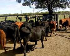 Terneros Y Terneras De 180-200 Kgs En Entre Ríos