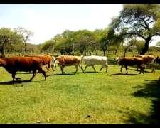 Vacas Nuevas Preñadas Entre Ríos
