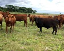 350 Vacas Nuevas Con Crías - Brangus Coloradas