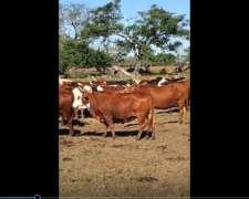 150 Vacas Preñadas En San Miguel, Corrientes