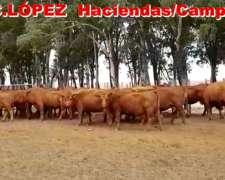 Vacas Angus Coloradas Preñadas