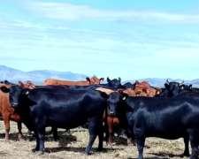 Vendo 122 Vacas Vacías $ 10.000 Cada Una