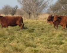 150 Vaquillonas Angus En General Pico, La Pampa