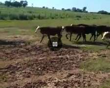 30 Vacas CUT con 22 Terneros