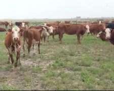 80 Vacas Invernada 360-380 Kg
