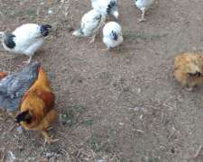Pollos de Raza Pura
