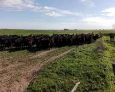 500 Vaquillonas Negras Para Entorar A Elegír