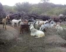 Vendo Plantel De 50 Cabras Nuevas