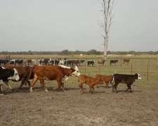 Vendo Vacas con Cría y Preñadas