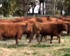 Vendo Vacas Angus Coloradas y Negras