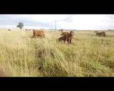 Vendo Vacas con Cria Total 90