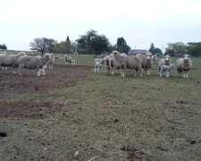 Busco Acopiador De Chivos/chivatos/cabrillas/ovejas/borregos