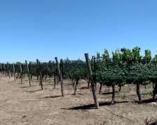 80 Has San Rafael, Mendoza con 44 de Viñedos Impecables