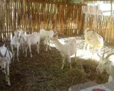 Lote De Cabras Saanen Puras Registradas En S.r.a.