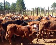 Vendo 120 Terneros 110 Kg - Corrientes.