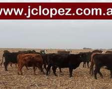 Vacas Paridas y Pariendo Británicas