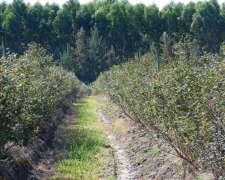Forestación Y Arándanos - 50 Has.- Ref.: Cf0026