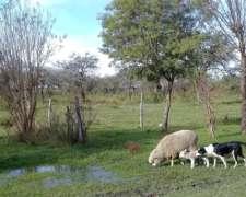 Vendo Corderos para Faena