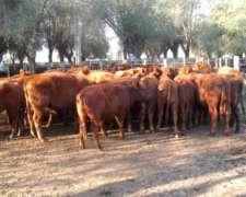 Compro Vacas Gordas Para Faena