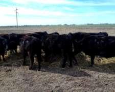 Vacas Aberdeen Angus Negra. muy Buena Genética.