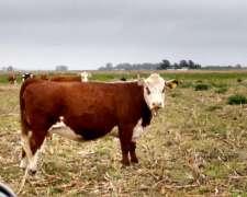 Recibo Vacas Preñadas A Capitalizar. Zona Centro Sur De Cord