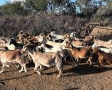 Pantel Cabras Anglo Nubian