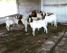 Chivos Boer Machos Reproductores Whatsapp 3533-437247