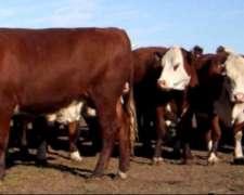 Compro Novillos Y Vacas Gordas A Rendimiento