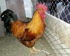 Gallos y Pollos de Raza