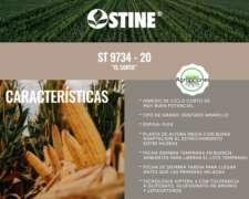 Semilla de Maiz ST 9734-20 el Corto - Semillero Stine
