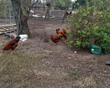 Vendo Pavos Machos Y Pollos De Campo Puros