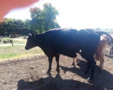 Vendo Vacas Gordas Descarte Tambo Muy Buenas Vacías