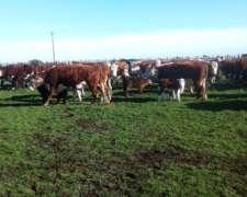 Vendo 280 Vacas Nuevas Paridas