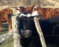 Vendo Vaquillas Braford Preñadas