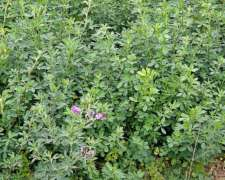 Vendo Semilla De Alfalfa