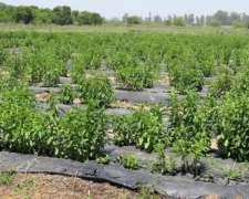 Venta De Hojas De Stevia 1º Calidad Orgánica Y Natural