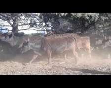Vacas Vacias ( Cut) SON 155 Rodeo