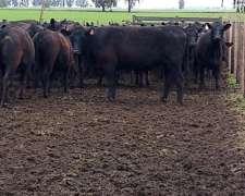 30 Vaquillonas Angus (paricion Marzo)en Bs,as