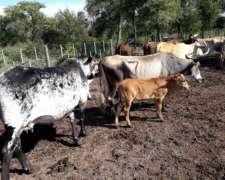 Vendo Vacas Con Cría Al Pie Y Con Servicio