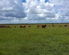 Compro Vacas Invernadas Hasta 500 Unidades Por Semana