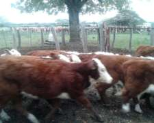 Novillero y Vacas INV