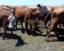Vacas Invernada Para La Venta