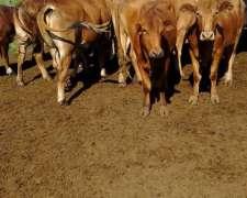 36 Novillos Invernada 380-400 Kg
