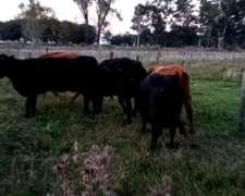 Vendo Lote de 12 Vacas