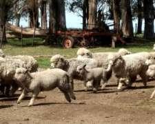 Vendo Corderos, Corderas Y Ovejas Con Guia