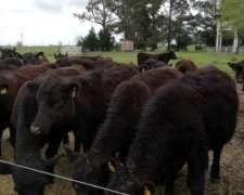 Vendo Vaquillonas Angus Negra